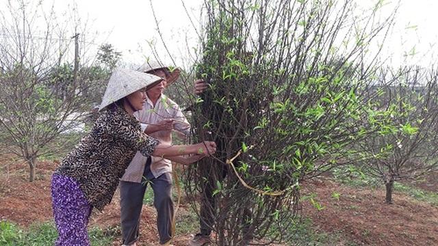 Hà Tĩnh: Đào Tết bung nở rực rỡ, người trồng lo sốt vó - 6