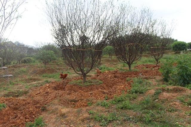 Hà Tĩnh: Đào Tết bung nở rực rỡ, người trồng lo sốt vó - 7