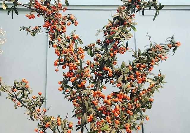 Cận Tết, dân Hà Nội đổ xô mua hoa lạ Trung Quốc - 1