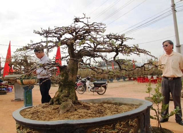 """Mãn nhãn với những tuyệt phẩm """"đại lão mai"""" ở Bình Định - 7"""