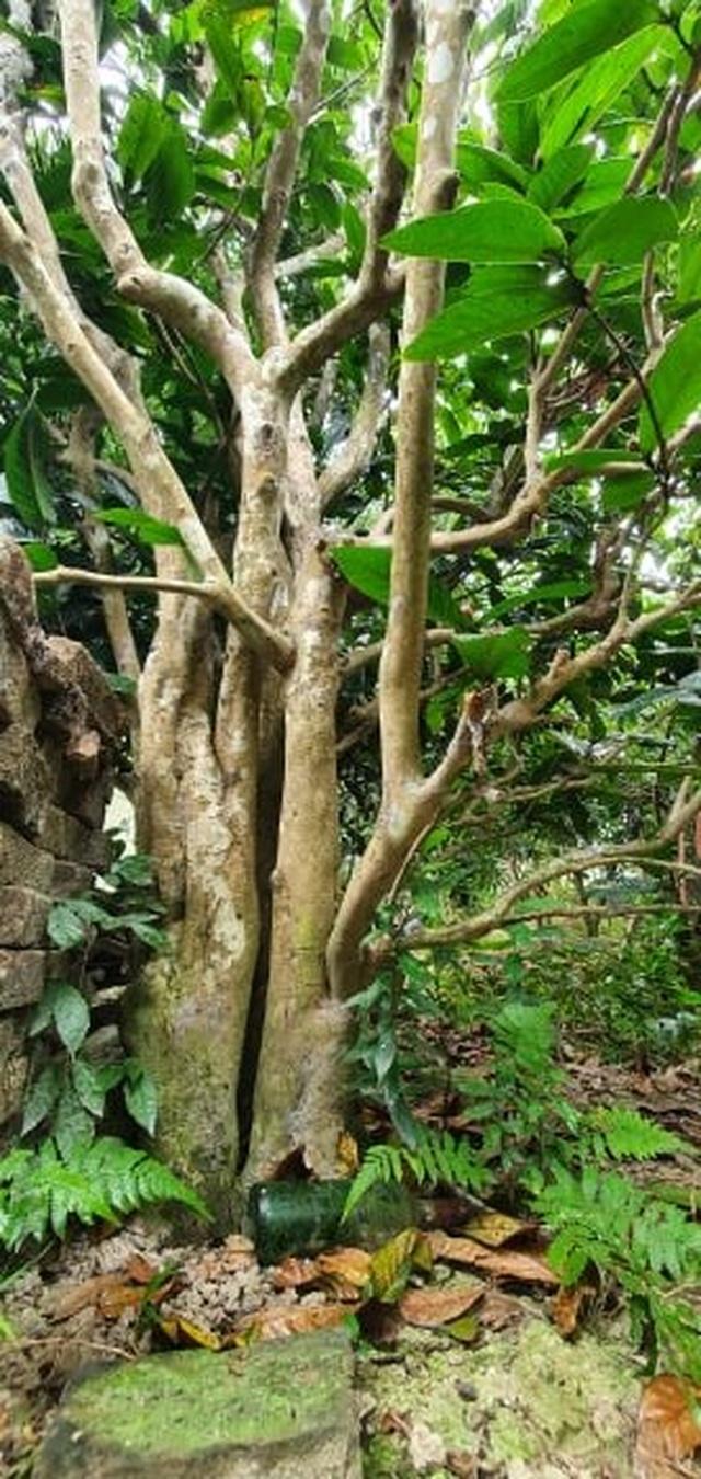 Về làng hoa Đồng Dụ ngắm cây hải đường cổ thụ hơn trăm tuổi - 1