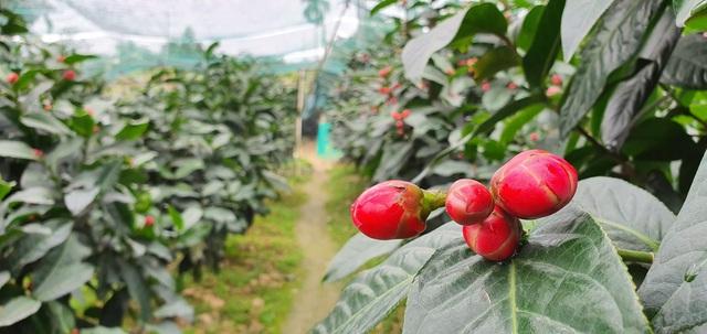 Về làng hoa Đồng Dụ ngắm cây hải đường cổ thụ hơn trăm tuổi - 10