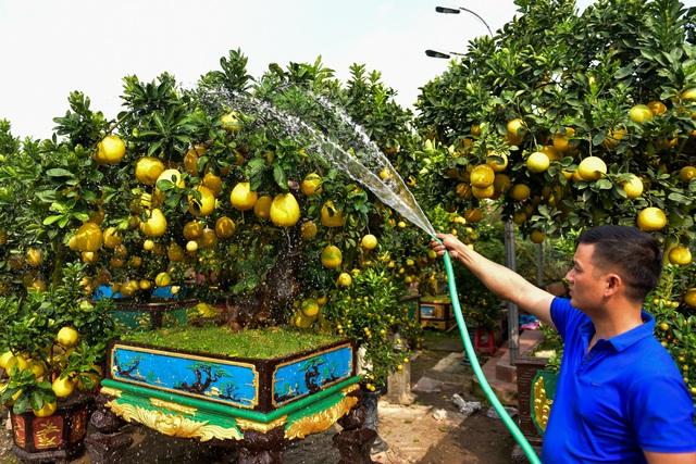 Cây bưởi cổ thụ thế bạt phong hồi đầu giá trăm triệu gây sốt ở Hưng Yên - 9