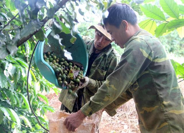 Macca cháy hàng dịp Tết tại Đắk Nông, lương nhân công tăng thêm 1,5 triệu đồng - 1