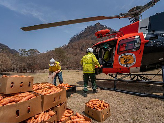 Clip: Cơn mưa rau củ cứu sống đàn kangaroo sau cháy rừng ở Úc - 1