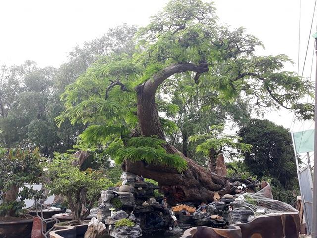 Độc đáo cây me trăm tuổi, được trả giá tiền tỷ tại Sài Gòn - 1