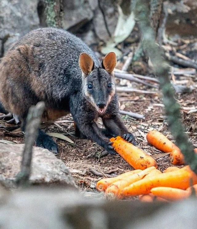 Clip: Cơn mưa rau củ cứu sống đàn kangaroo sau cháy rừng ở Úc - 4