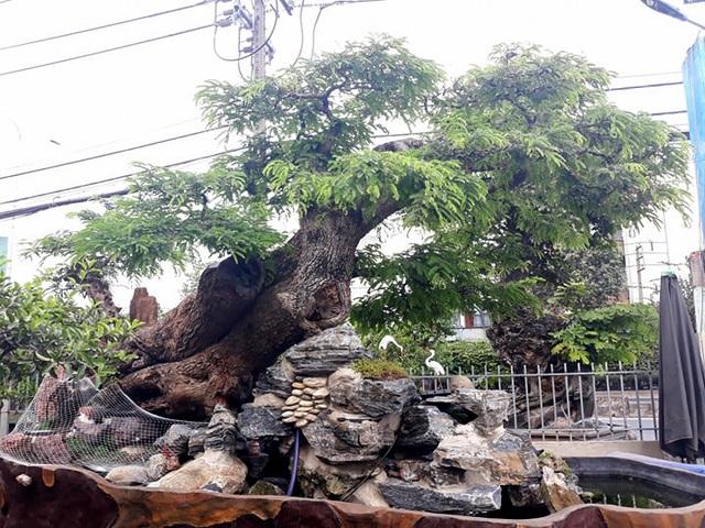 Độc đáo cây me trăm tuổi, được trả giá tiền tỷ tại Sài Gòn - 3
