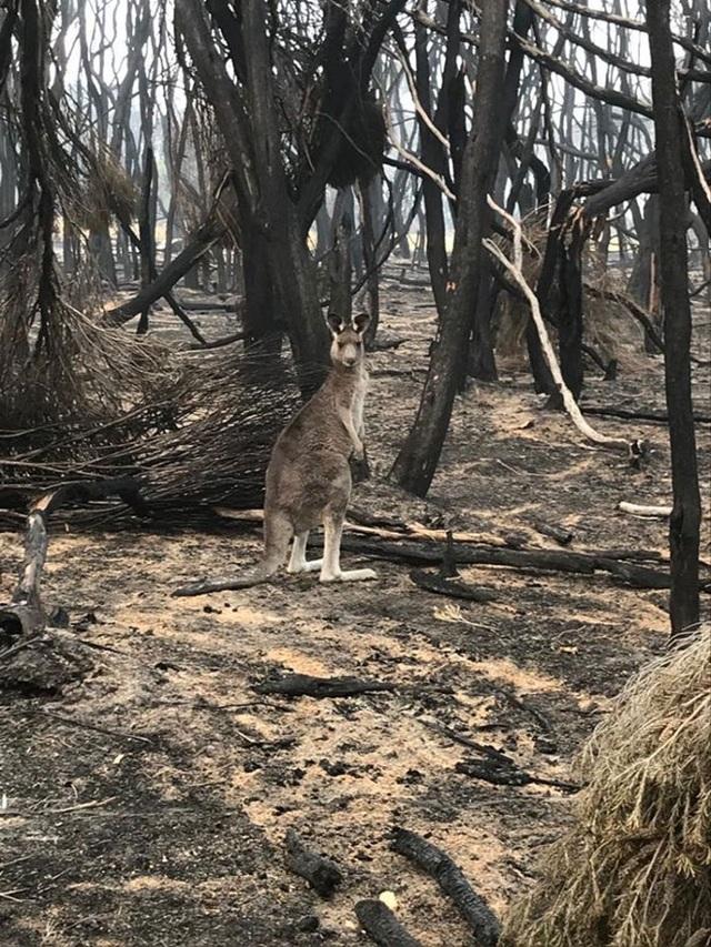 Clip: Cơn mưa rau củ cứu sống đàn kangaroo sau cháy rừng ở Úc - 5