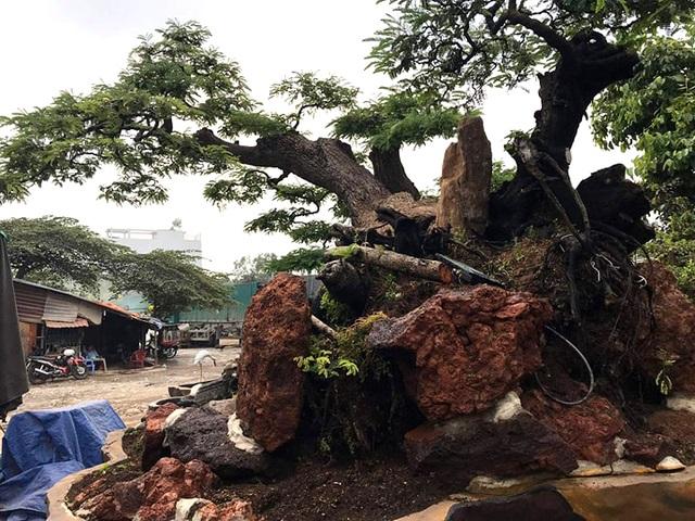 Độc đáo cây me trăm tuổi, được trả giá tiền tỷ tại Sài Gòn - 9