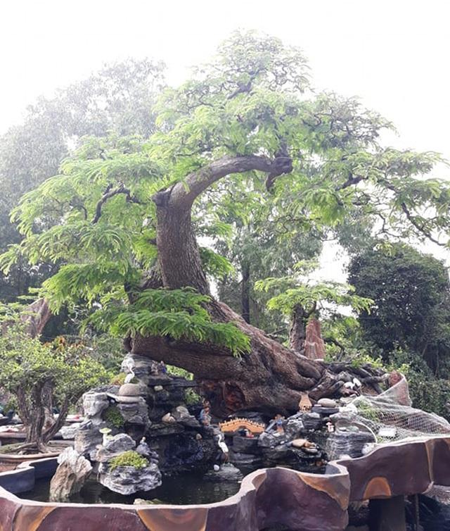 Độc đáo cây me trăm tuổi, được trả giá tiền tỷ tại Sài Gòn - 7