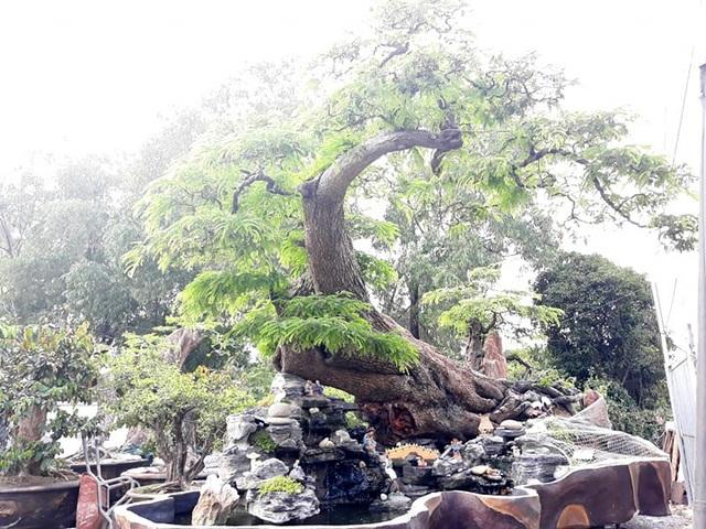 Độc đáo cây me trăm tuổi, được trả giá tiền tỷ tại Sài Gòn - 4