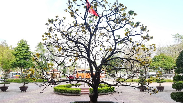 """Chiêm ngưỡng cây mai độc lạ, dáng """"bình phong"""" tại Huế - 12"""