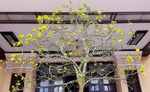 """Chiêm ngưỡng cây mai độc lạ, dáng """"bình phong"""" tại Huế - 10"""