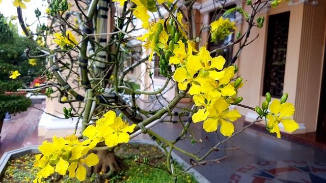 """Chiêm ngưỡng cây mai độc lạ, dáng """"bình phong"""" tại Huế - 5"""