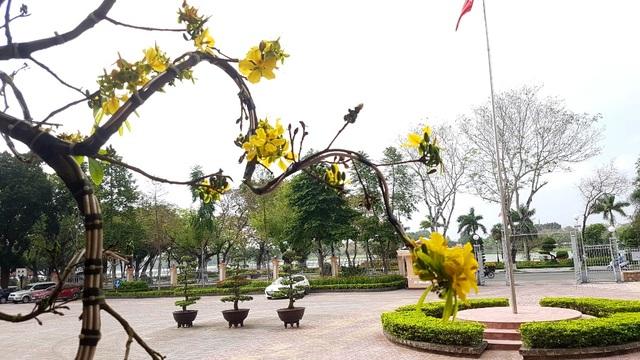 """Chiêm ngưỡng cây mai độc lạ, dáng """"bình phong"""" tại Huế - 9"""