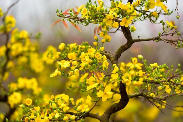 Mai vàng Bình Định bung nở rực rỡ, nhuộm vàng góc phố Hà Nội - 14