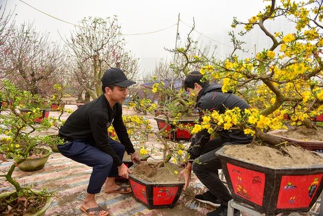 Mai vàng Bình Định bung nở rực rỡ, nhuộm vàng góc phố Hà Nội - 4