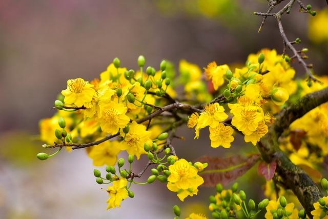 Mai vàng Bình Định bung nở rực rỡ, nhuộm vàng góc phố Hà Nội - 1