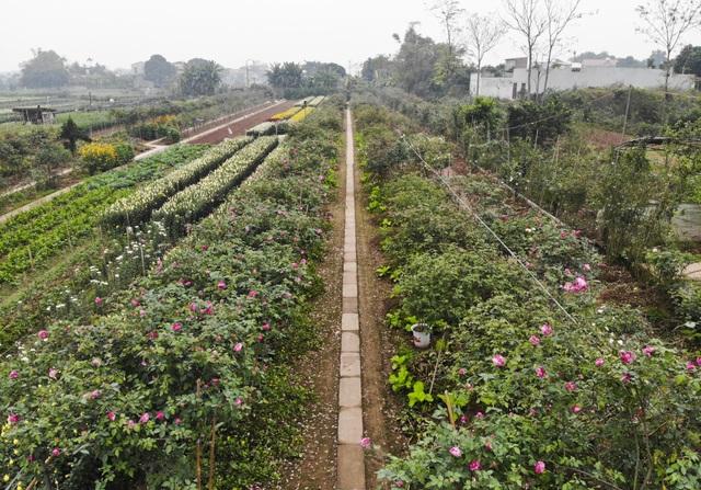 Chiêm ngưỡng gốc hồng cao tuổi giá 70 triệu đồng ở làng hoa Phù Vân - 1