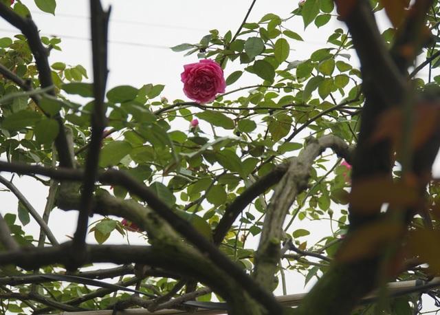 Chiêm ngưỡng gốc hồng cao tuổi giá 70 triệu đồng ở làng hoa Phù Vân - 9