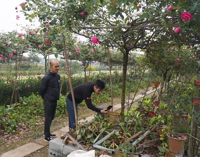 Chiêm ngưỡng gốc hồng cao tuổi giá 70 triệu đồng ở làng hoa Phù Vân - 10