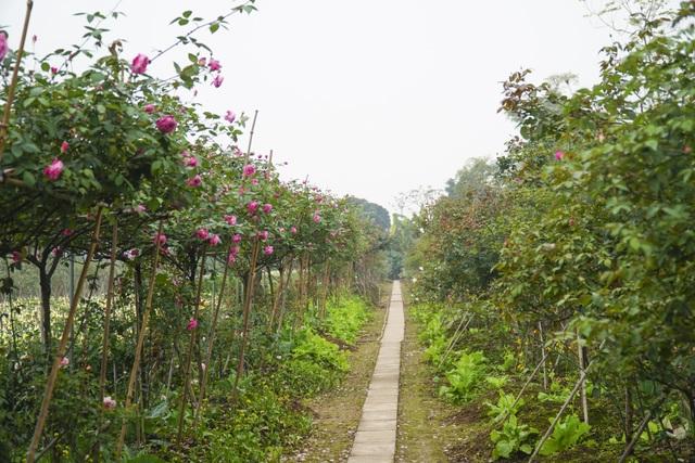 Chiêm ngưỡng gốc hồng cao tuổi giá 70 triệu đồng ở làng hoa Phù Vân - 2