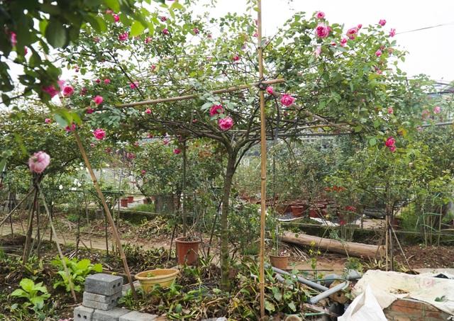 Chiêm ngưỡng gốc hồng cao tuổi giá 70 triệu đồng ở làng hoa Phù Vân - 3