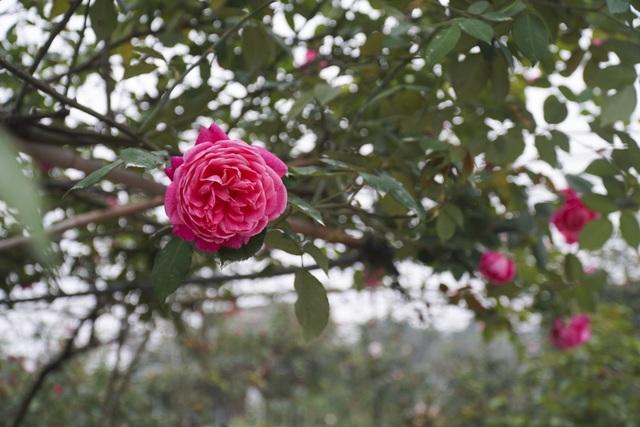 Chiêm ngưỡng gốc hồng cao tuổi giá 70 triệu đồng ở làng hoa Phù Vân - 5