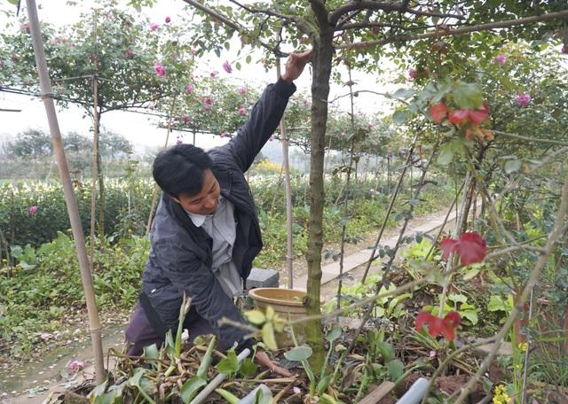 Chiêm ngưỡng gốc hồng cao tuổi giá 70 triệu đồng ở làng hoa Phù Vân - 6