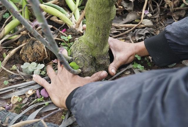 Chiêm ngưỡng gốc hồng cao tuổi giá 70 triệu đồng ở làng hoa Phù Vân - 7