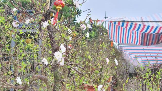 Nhất chi mai to nhiều tiền, dân sành Hà thành mua cây nhỏ để bàn chơi Tết - 3