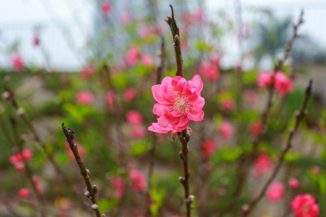 Đào Nhật Tân bung nở nhuộm đỏ rực chợ hoa lớn nhất ở Hà Nội - 11