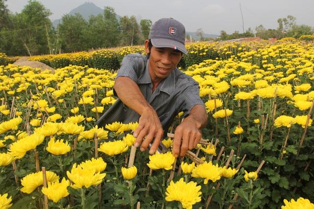 Cận Tết: Vựa hoa cúc đại đóa lớn nhất Phú Yên nhộn nhịp xuất hàng - 4