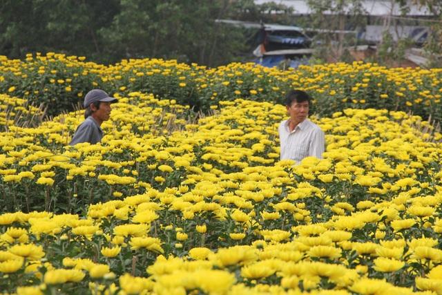 Cận Tết: Vựa hoa cúc đại đóa lớn nhất Phú Yên nhộn nhịp xuất hàng - 1