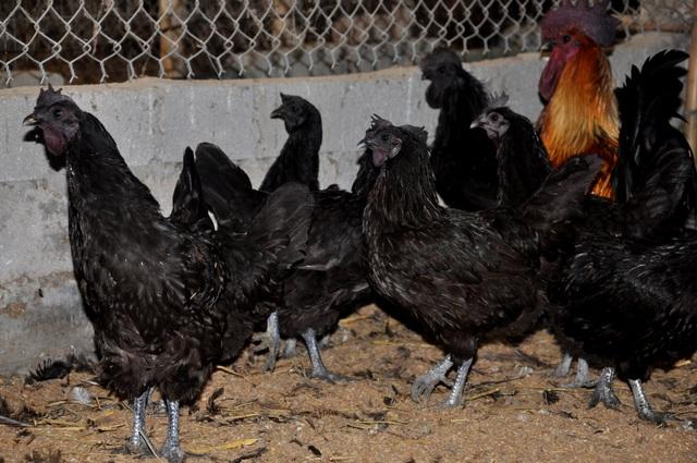 Trại gà H'Mông cháy hàng ngày cận Tết - 1