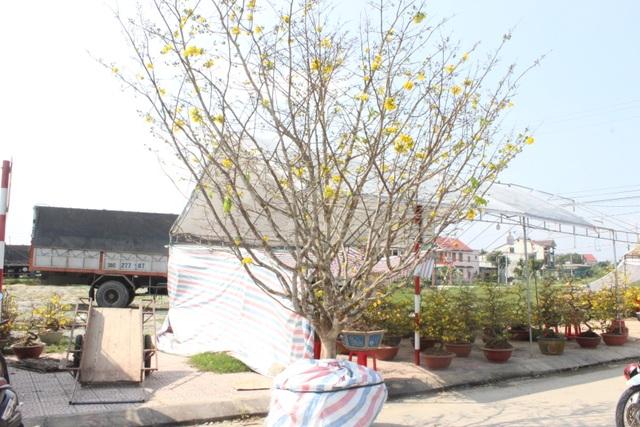 Mê mẩn với cây mai cổ thụ hơn 40 năm tuổi có giá 100 triệu đồng - 1