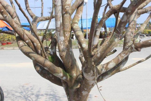 Mê mẩn với cây mai cổ thụ hơn 40 năm tuổi có giá 100 triệu đồng - 2