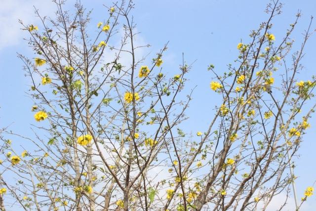 Mê mẩn với cây mai cổ thụ hơn 40 năm tuổi có giá 100 triệu đồng - 3