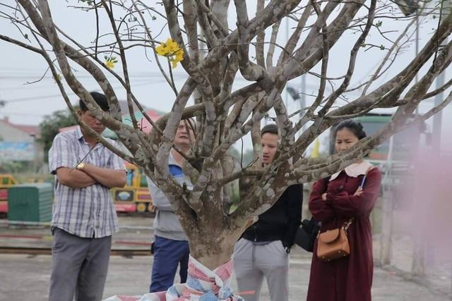 Mê mẩn với cây mai cổ thụ hơn 40 năm tuổi có giá 100 triệu đồng - 5