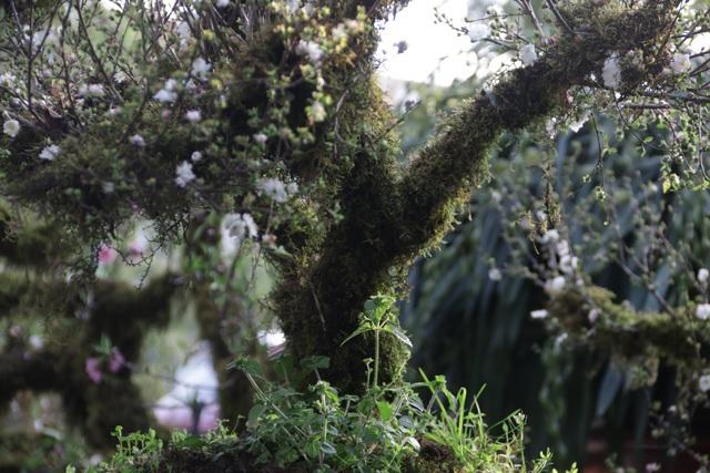 Mai đá Lào Cai đổ bộ Hà Nội giá nghìn đô một gốc - 7