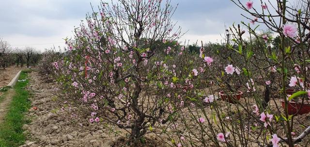 """Đào thi nhau bung nở, người trồng hoa lo """"mất tết"""" - 1"""