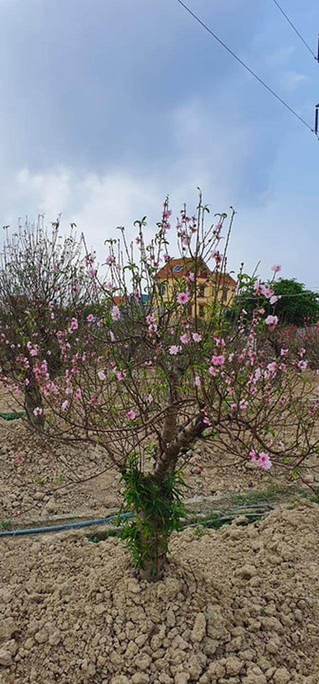 """Đào thi nhau bung nở, người trồng hoa lo """"mất tết"""" - 3"""