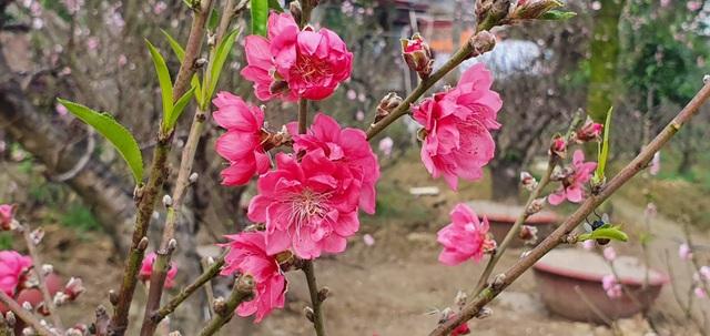 """Đào thi nhau bung nở, người trồng hoa lo """"mất tết"""" - 4"""