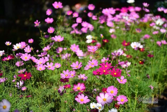 Ngàn màu rực rỡ, làng hoa lớn nhất miền Tây đốn tim khách phương xa - 5