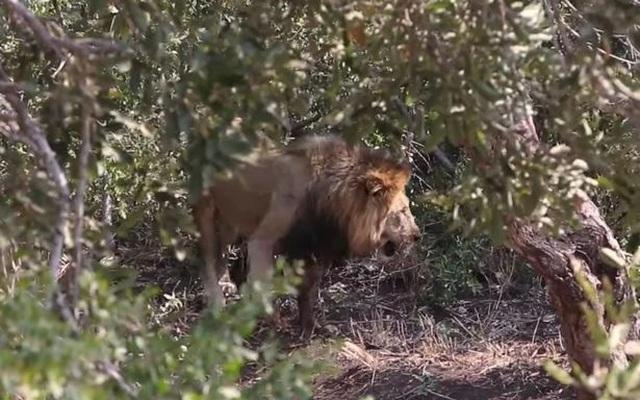 Đôi sư tử chạy thục mạng khi bị bầy voi truy sát - 2