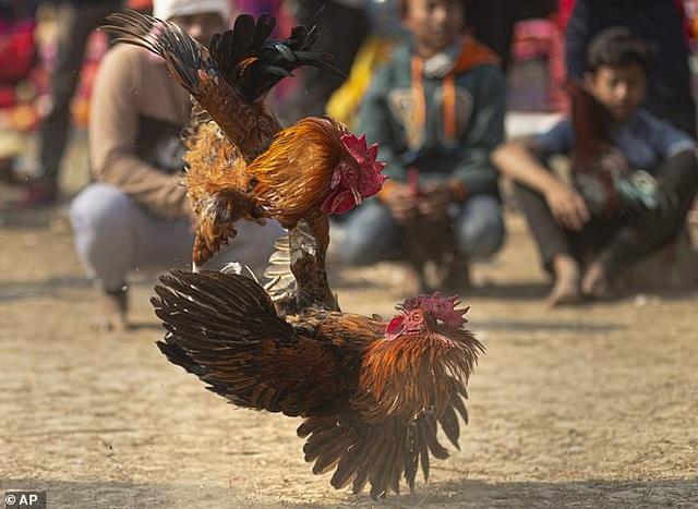 Ấn Độ: Người đàn ông thiệt mạng vì xem chọi gà - 1