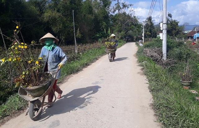 """Bình Định: Phụ nữ nông thôn kiếm bộn tiền nhờ """"bốc"""" mai ngày Tết - 3"""