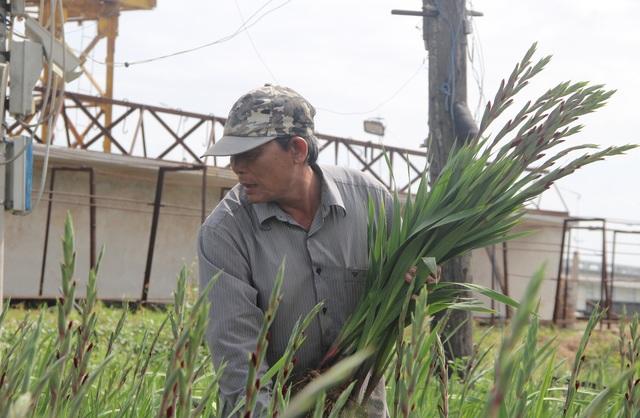 """Phú Yên: Giá hoa lay ơn """"rẻ bèo"""" khiến nông dân lo lắng ngày giáp Tết - 4"""