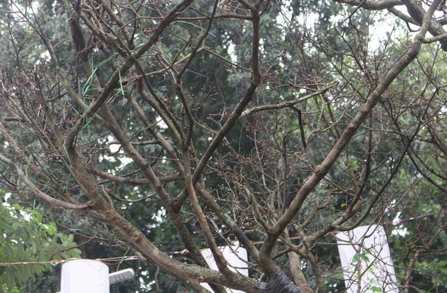Đại gia chi hơn 3 tỷ đồng vẫn không mua nổi cây Hoàng mai 120 tuổi - 3